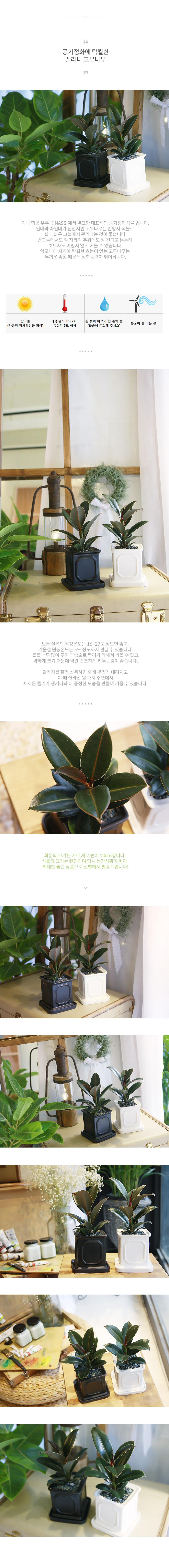 몰딩 화분 뱅갈고무나무 공기정화식물 - 나인플랜트, 17,900원, 플라워(생화), 화분세트