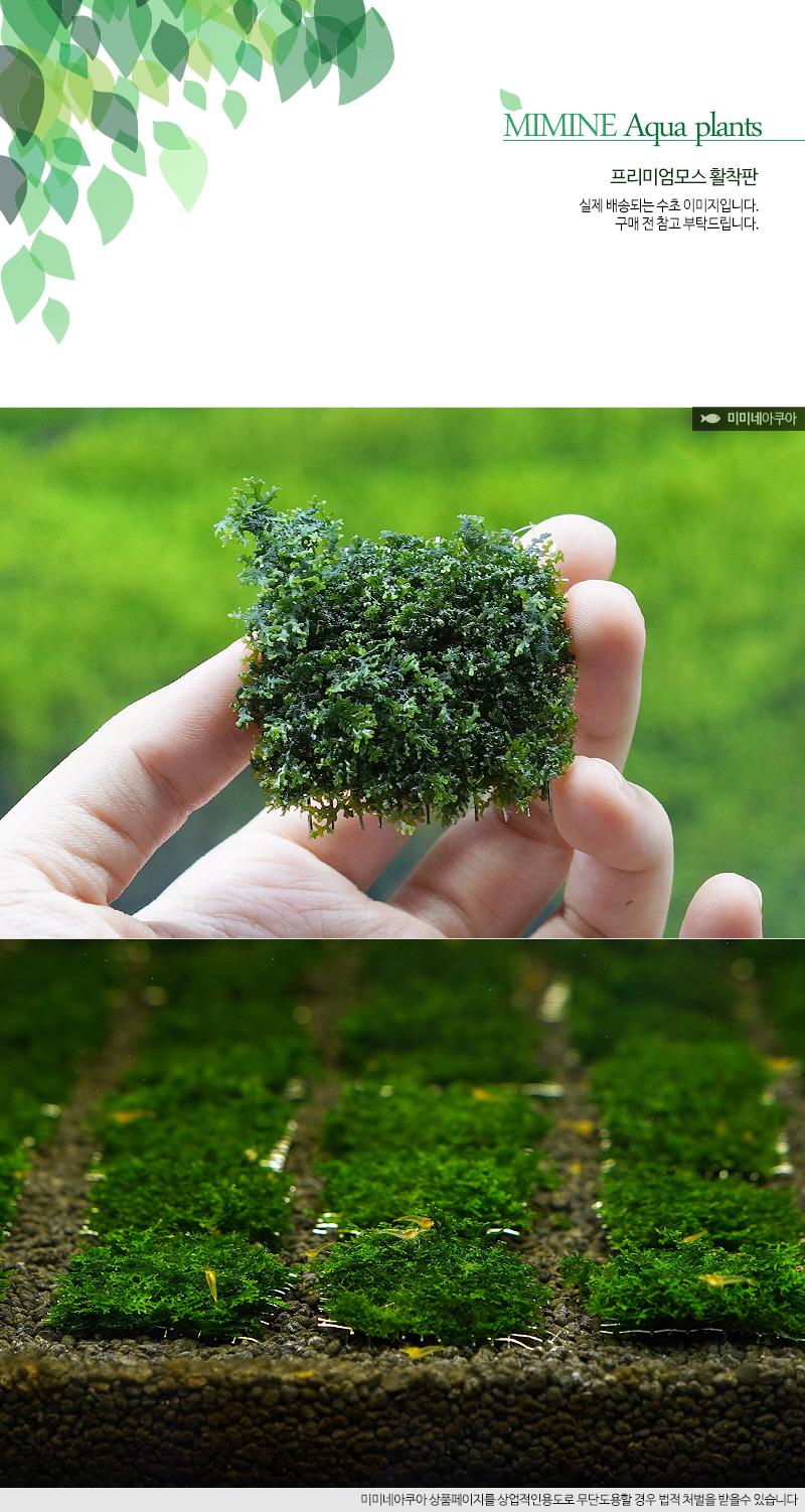 프리미엄모스 활착판 (4x4cm) - 모스활착 음성수초 - 미미네아쿠아, 7,000원, 장식품, 수초